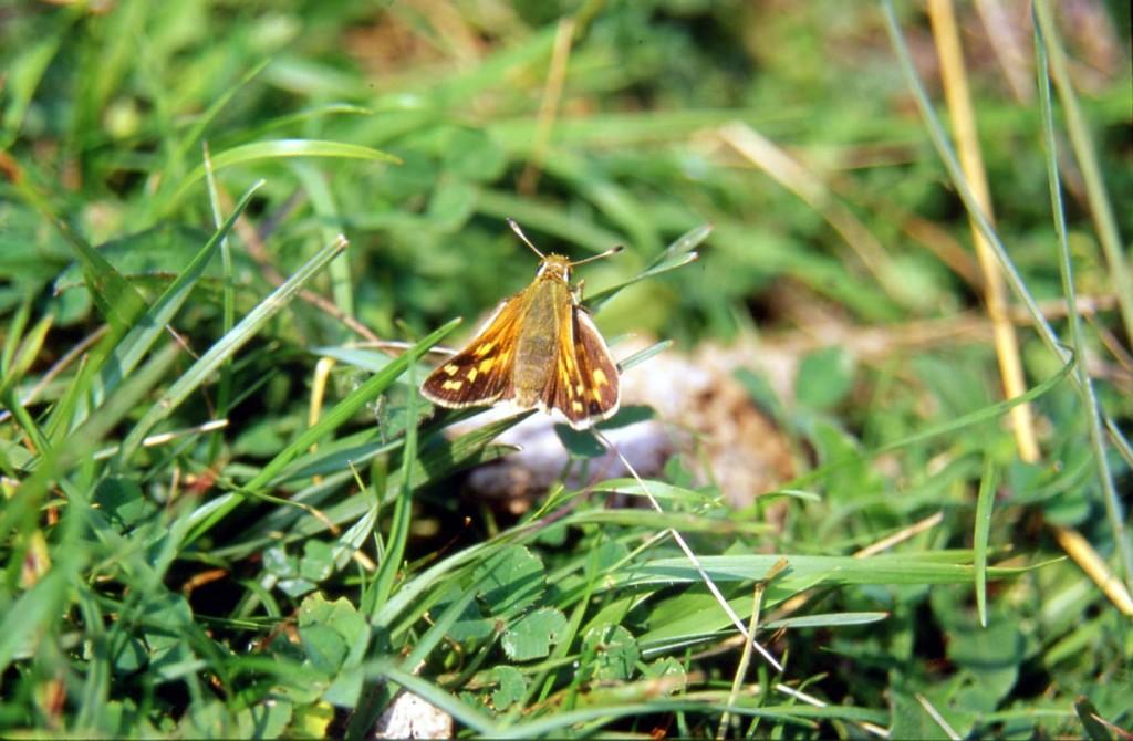 La Virgule, petit papillon menacé d'extinction dans notre région (photo : Daniel Haubreux)