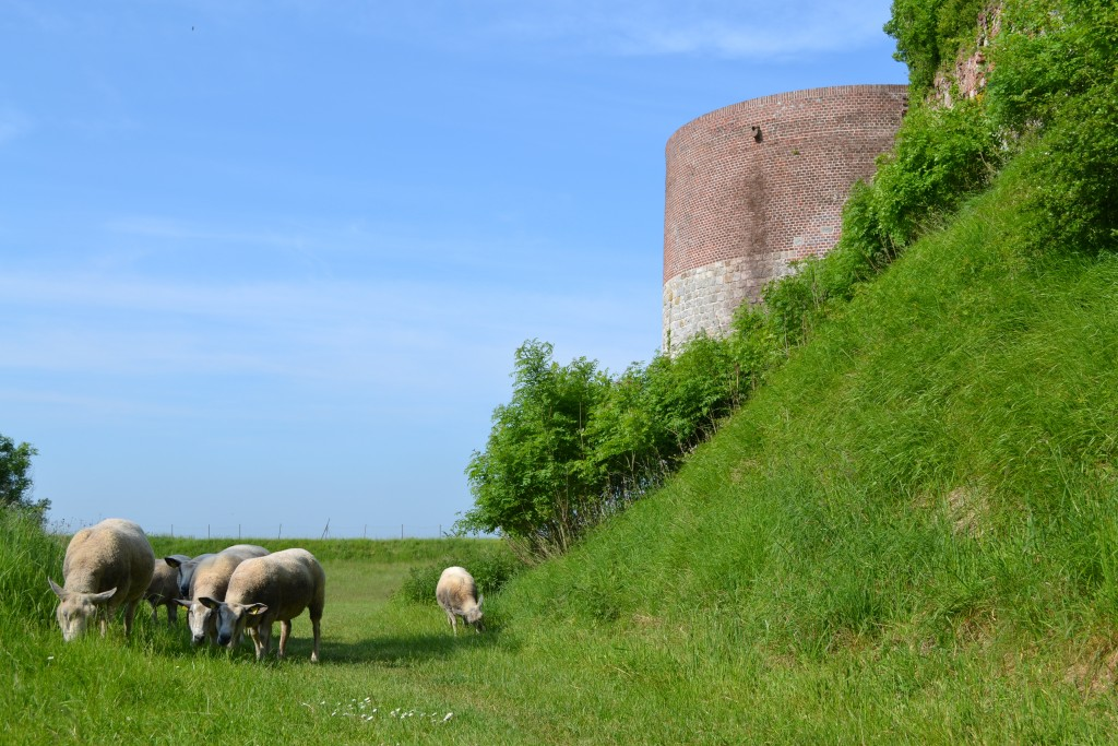 Les moutons sont de retour à la Citadelle de Montreuil-sur-mer