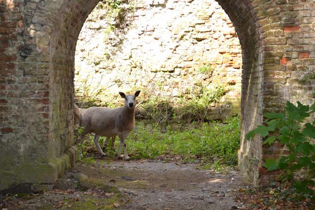 Les moutons ont vite repris leurs marques au sein de la Citadelle (Photo : Citadelle de Montreuil-sur-mer)