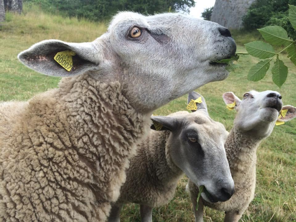 Moutons boulonnais