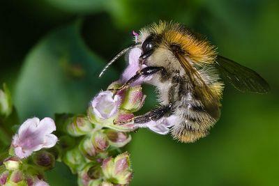 Le Bourdon des champs est un insecte pollinisateur sauvage que vous pouvez observer dans le Nord et le Pas-de-Calais.