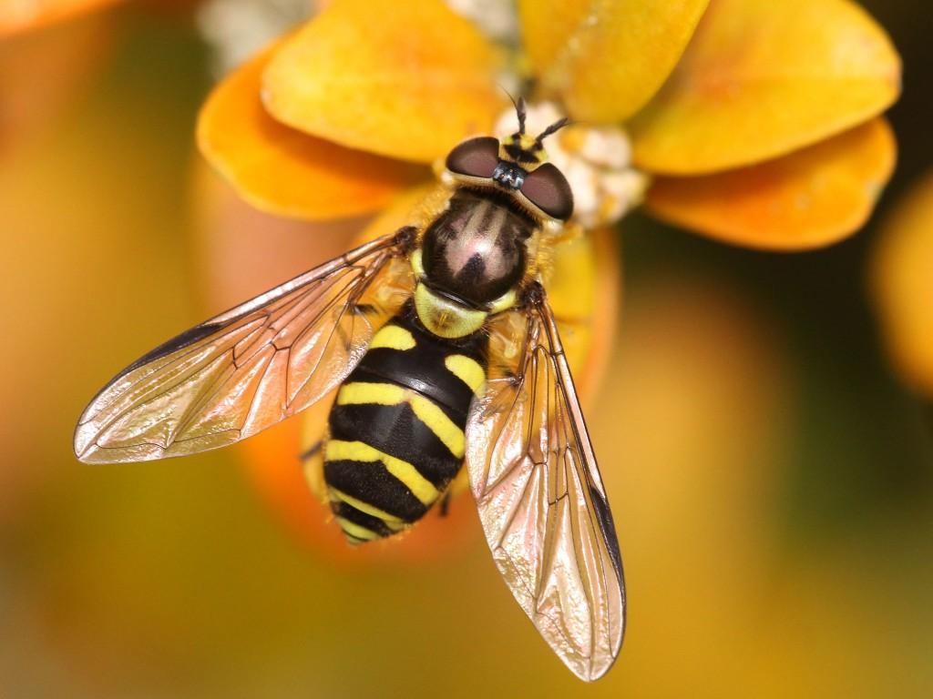 Dasysyrphus albostriatus (Fallén, 1817) est un genre d'insectes diptères de la famille des syrphidés - Crédit photo : © Colette Seignez