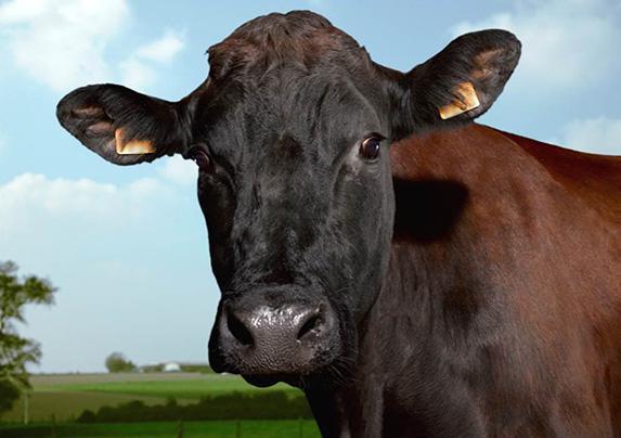 Vache de race Rouge flamande - Photo sous Creative Commons (CC)
