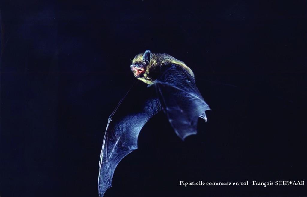 Pipistrelle commune en vol (Photo : François Schwaab)