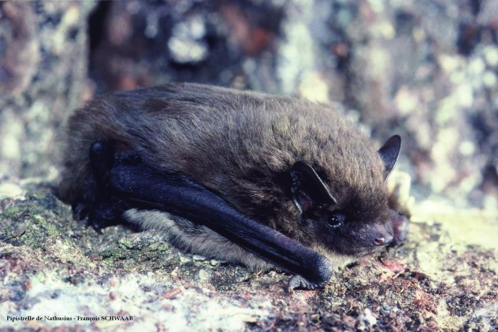 Pipistrelle de Nathusius (Photo : François SCHWAAB)