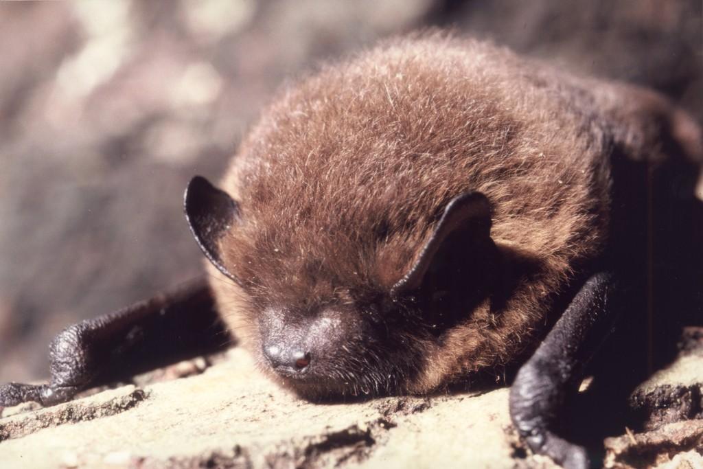 Pipistrelle commune (Photo : F. Schwaab)